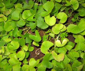 Brahmi plant leaves